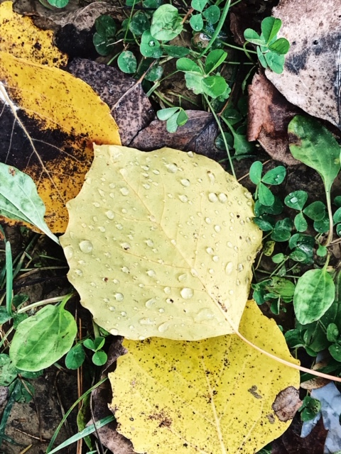 Yellow fallen leaves on the ground with water droplets.